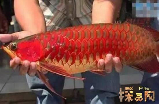 新加坡红龙鱼视频_世界上最贵的鱼是什么鱼,红龙鱼价格高达五百万(鱼中至尊 ...