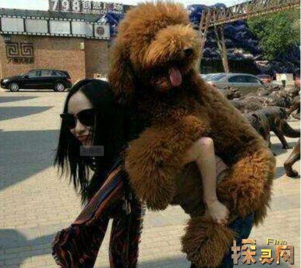 霍思燕小时候_世界上最大的泰迪狗,巨型泰迪高1.6米价值800万元(2)【图 ...